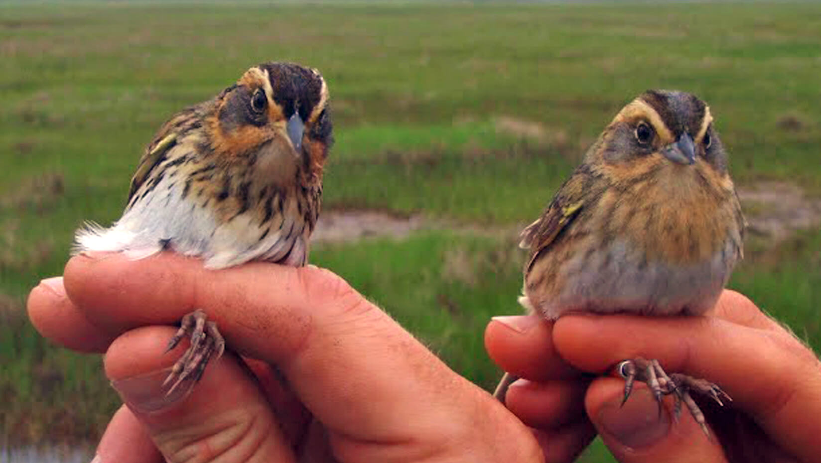 featured image for Olsen recommends local habitat protection to save Saltmarsh Sparrows