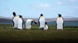 penguins Falkland Islands climate change