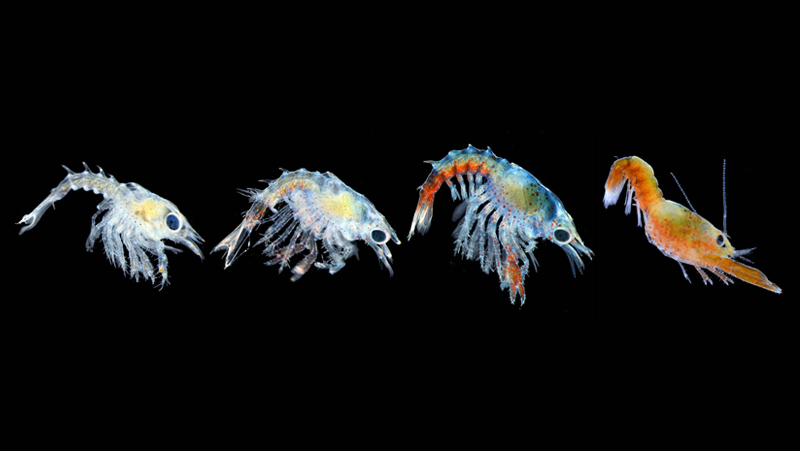 featured image for DMC, Bigelow study: Rising ocean temperatures threaten baby lobsters