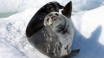 mammal-genes-news-feature-weddell-seal