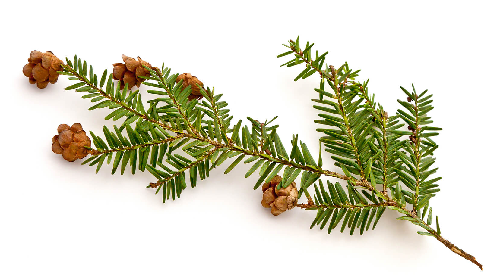 featured image for UMaine-led team predicts increasing decline of hemlock as winters warm