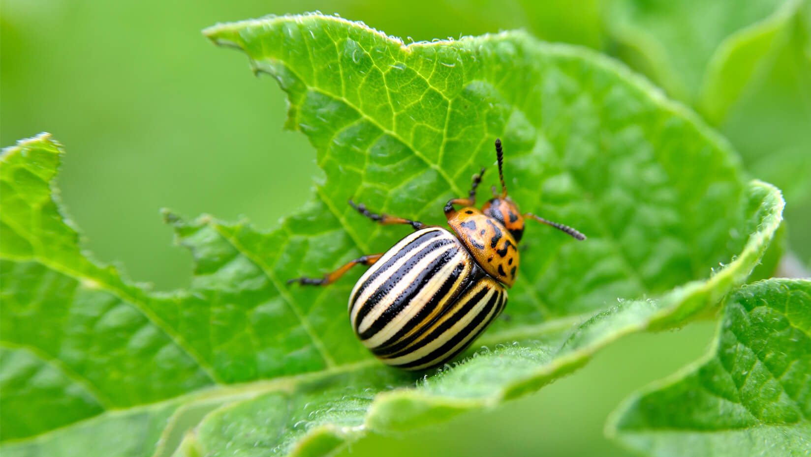 featured image for To protect crops, farmers could promote potato beetle cannibalism