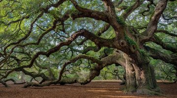 old tree forest