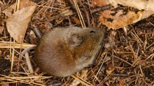 red-backed vole rodent wildlife
