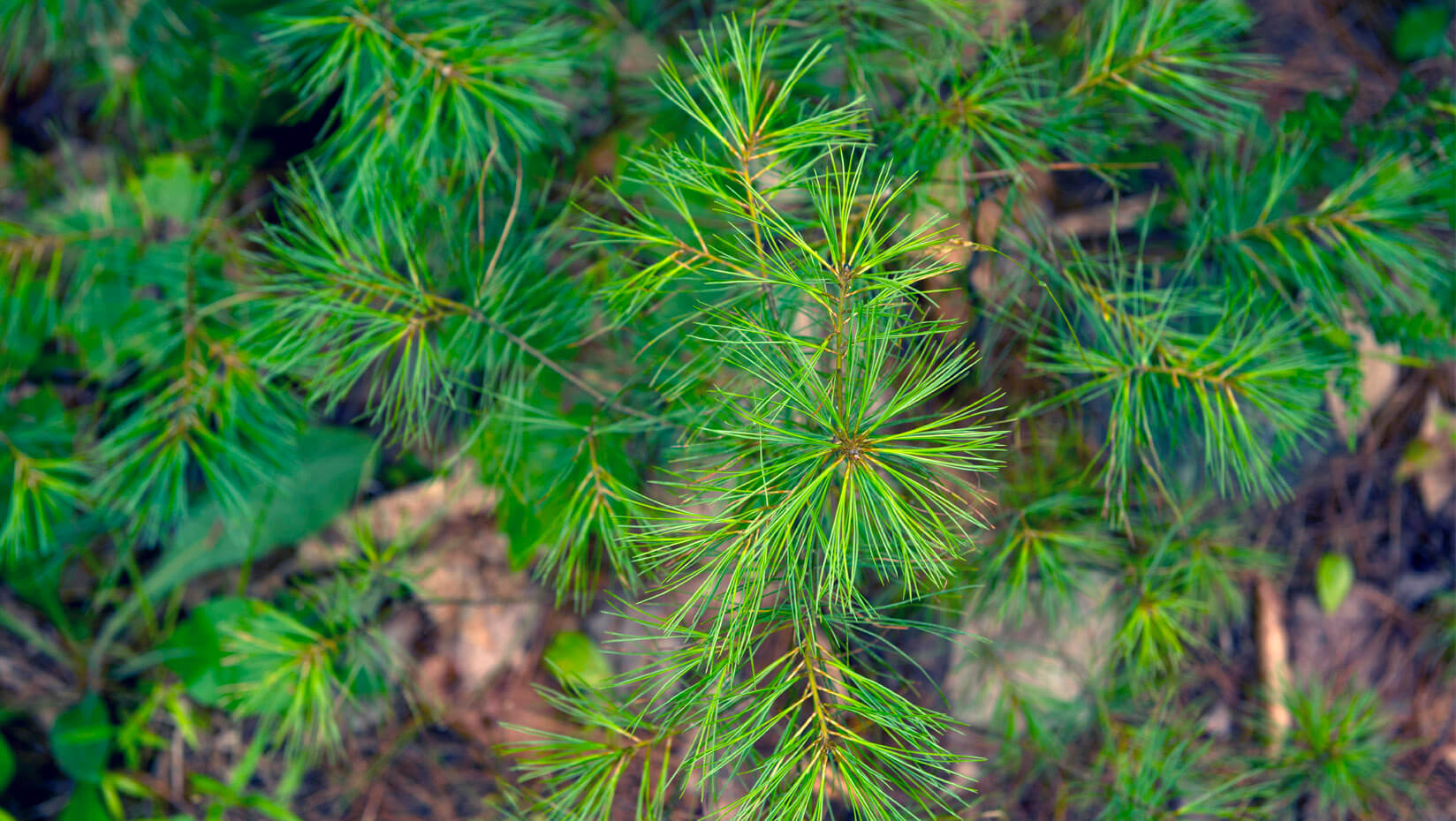 featured image for In changing climate, native fungal pathogen poses increasing health concerns for eastern white pine