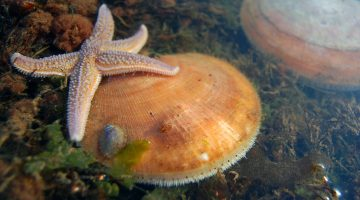 scallop sea star marine