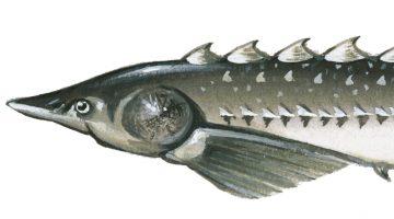 atlantic sturgeon fish illustration