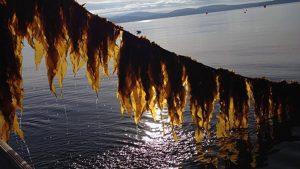 kelp marine ocean aquaculture