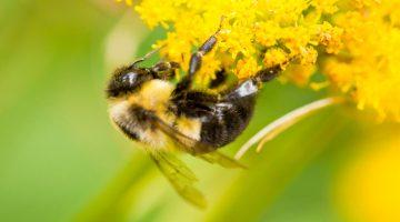 bee flower polinator umaine