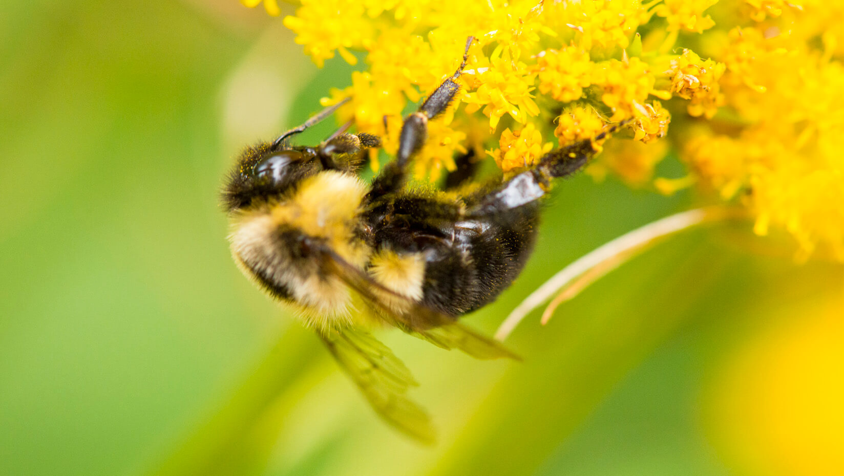 featured image for New checklist features 270 species of native bees in Maine