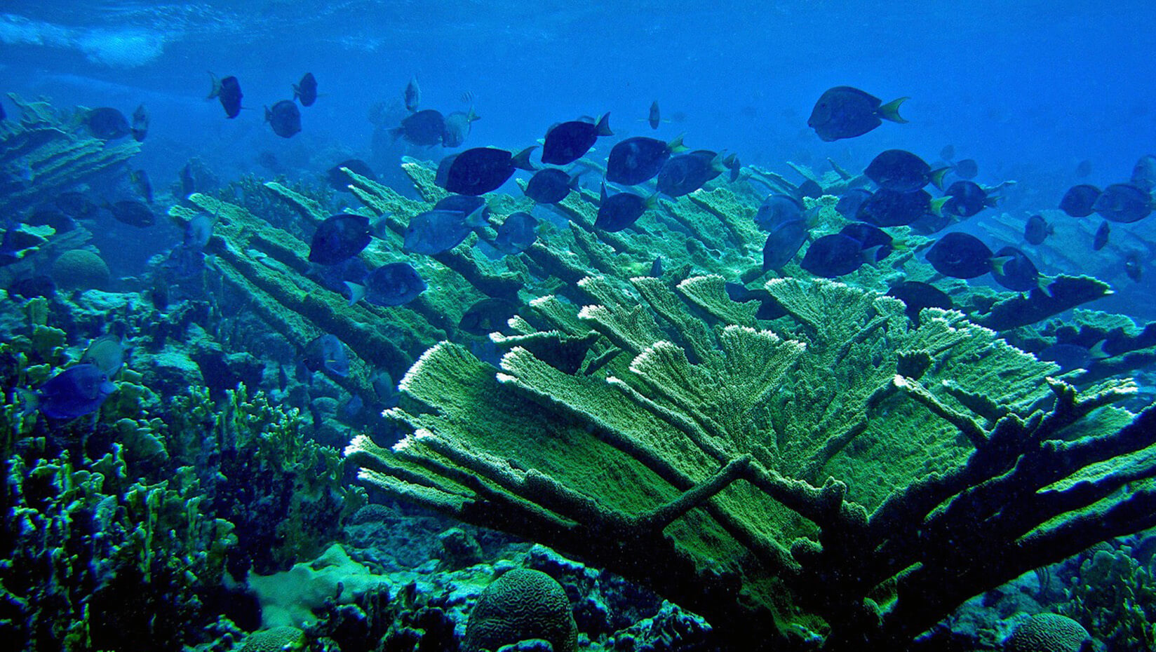 umaine research coral reef ocean marine protected area steneck