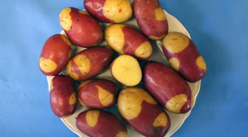 umaine potato variety pinto gold