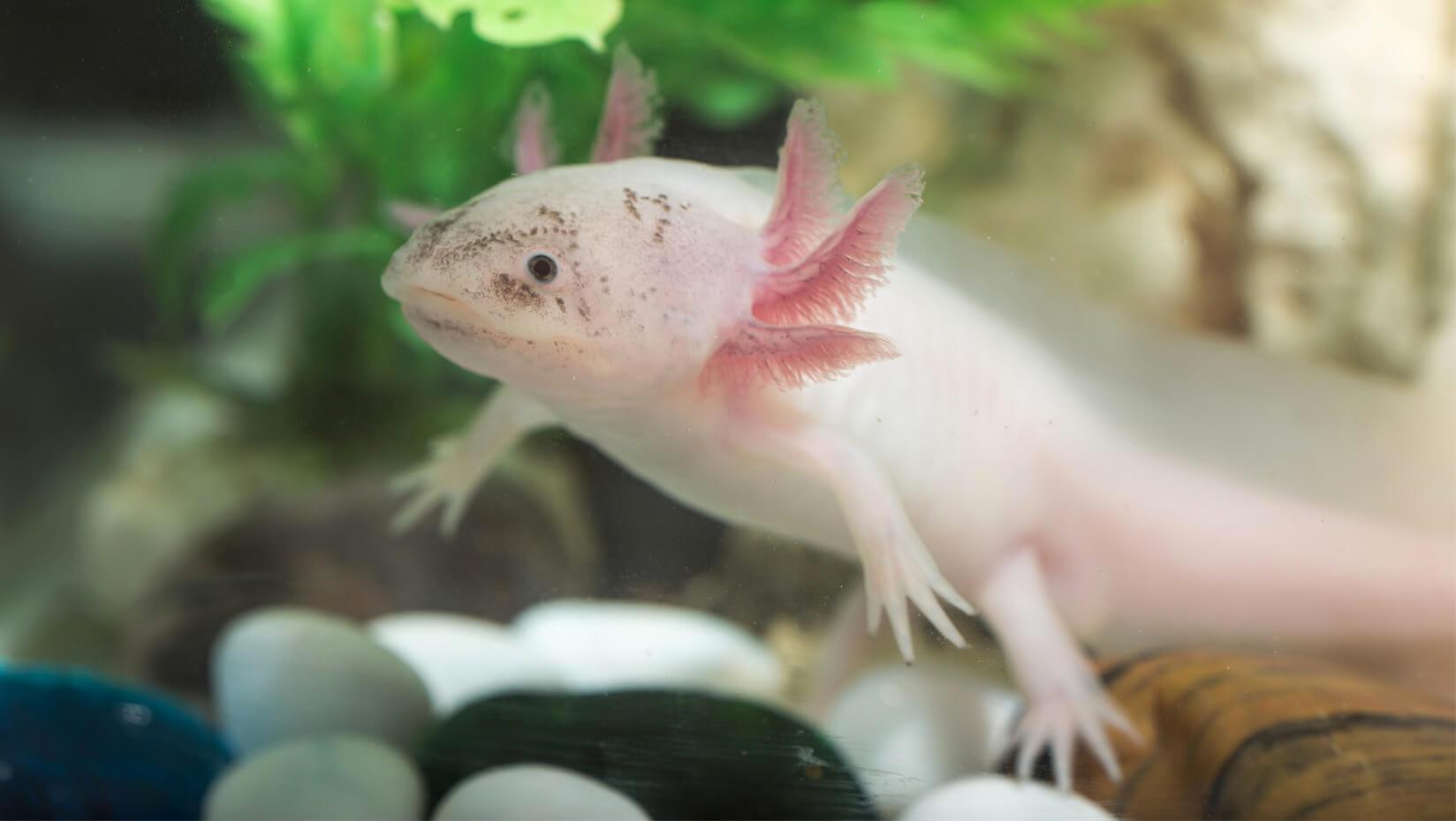 umaine ben king research biomedical axolotl-salamander