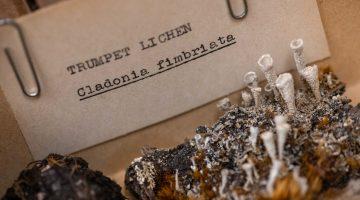 umaine lichen herbarium