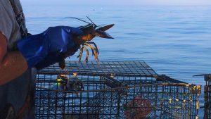 stoll marine lobster umaine