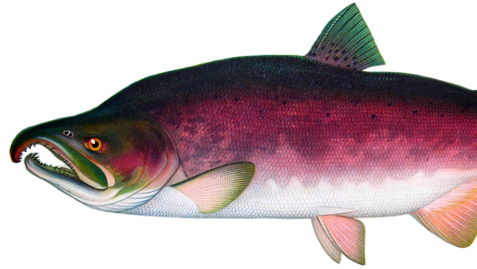 illustration of a salmon that is almost ready to spawn